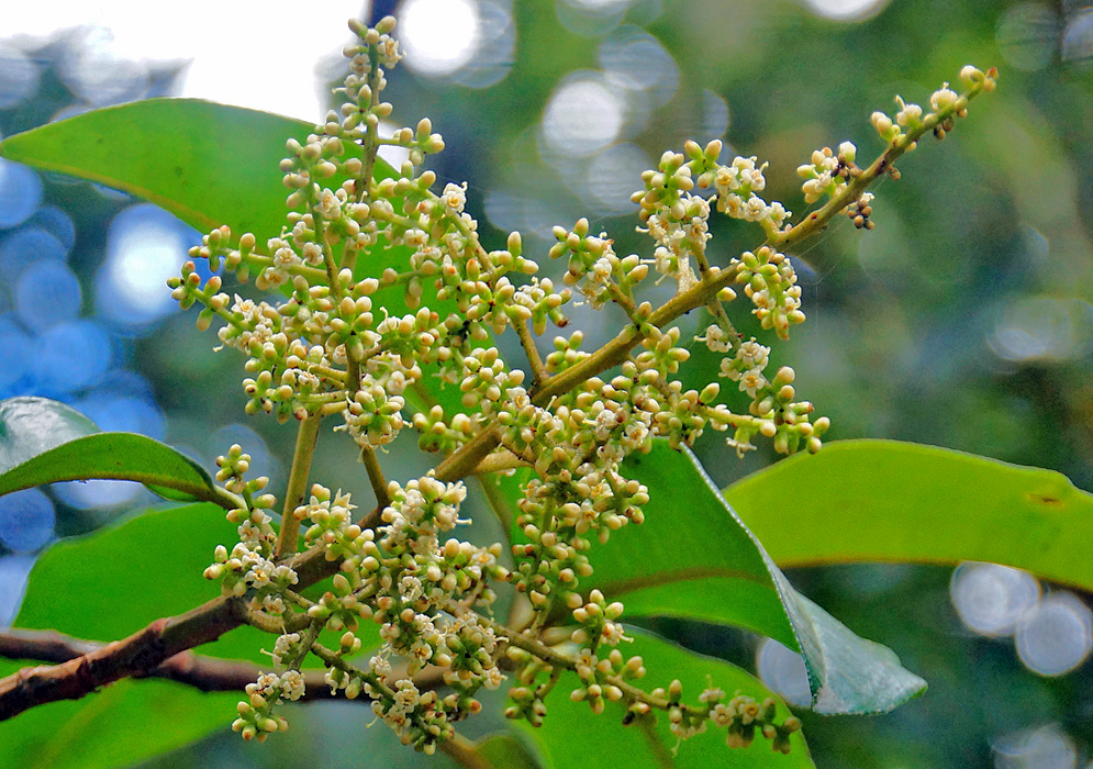 Geissanthus bogotensis Inflorescence with white flowers and flower buds and green sepals