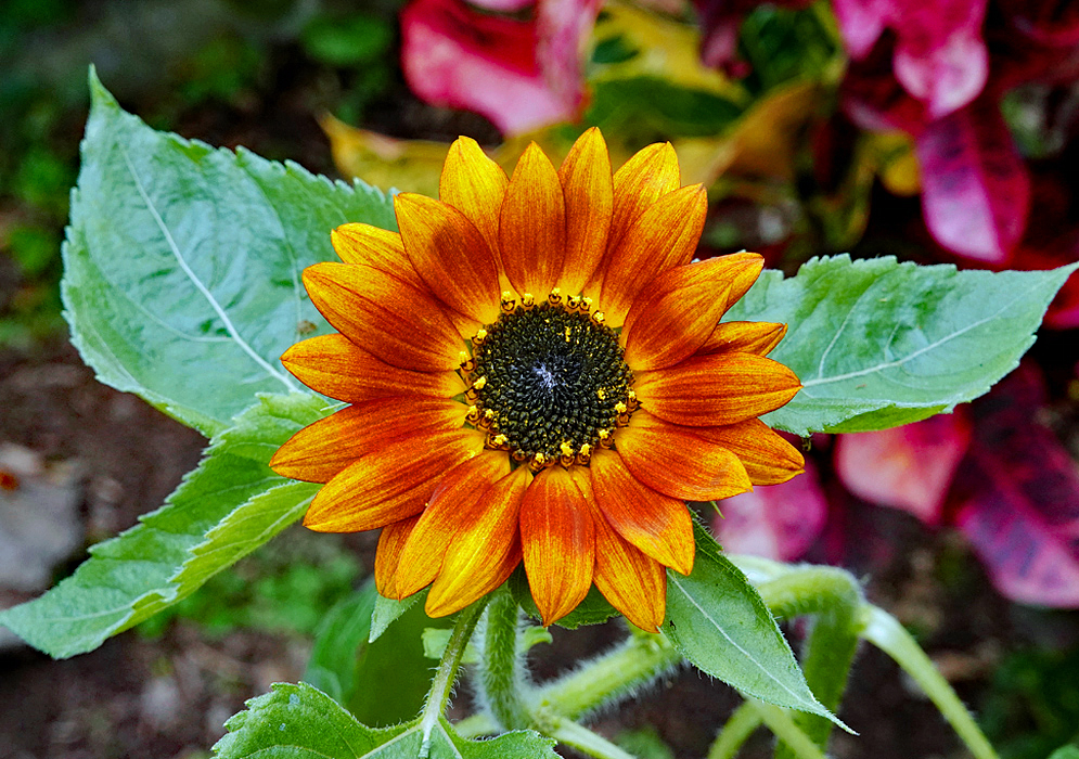 A yellow rust-orange Helianthus annuus flower with a black disk