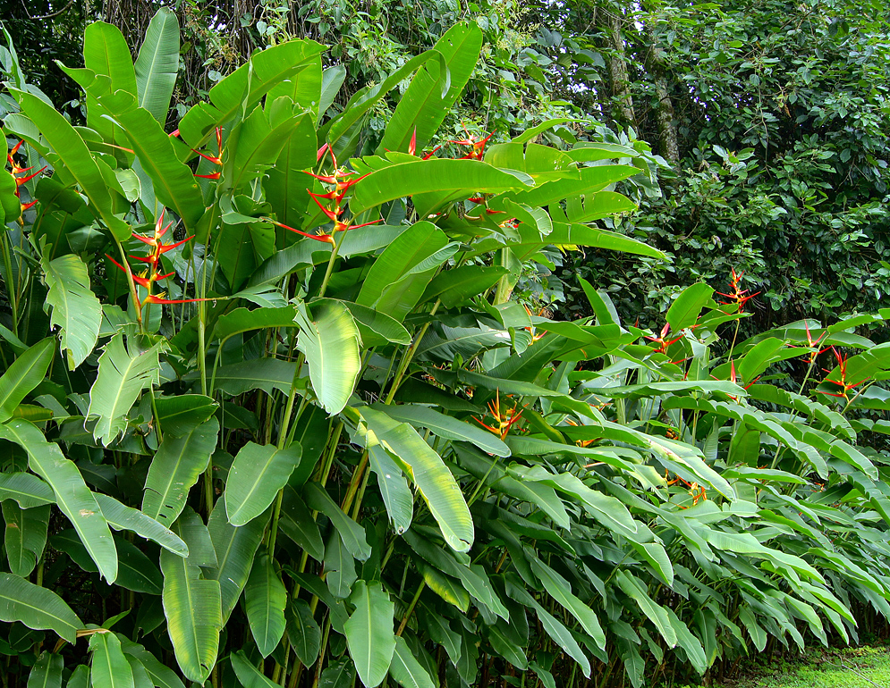 A row of flowering Heliconia latispatha plants