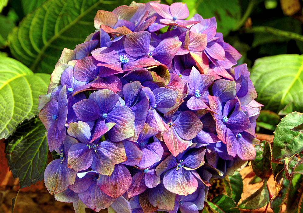 A cluster of purple, blue and pink Hydrangea macrophylla flowers