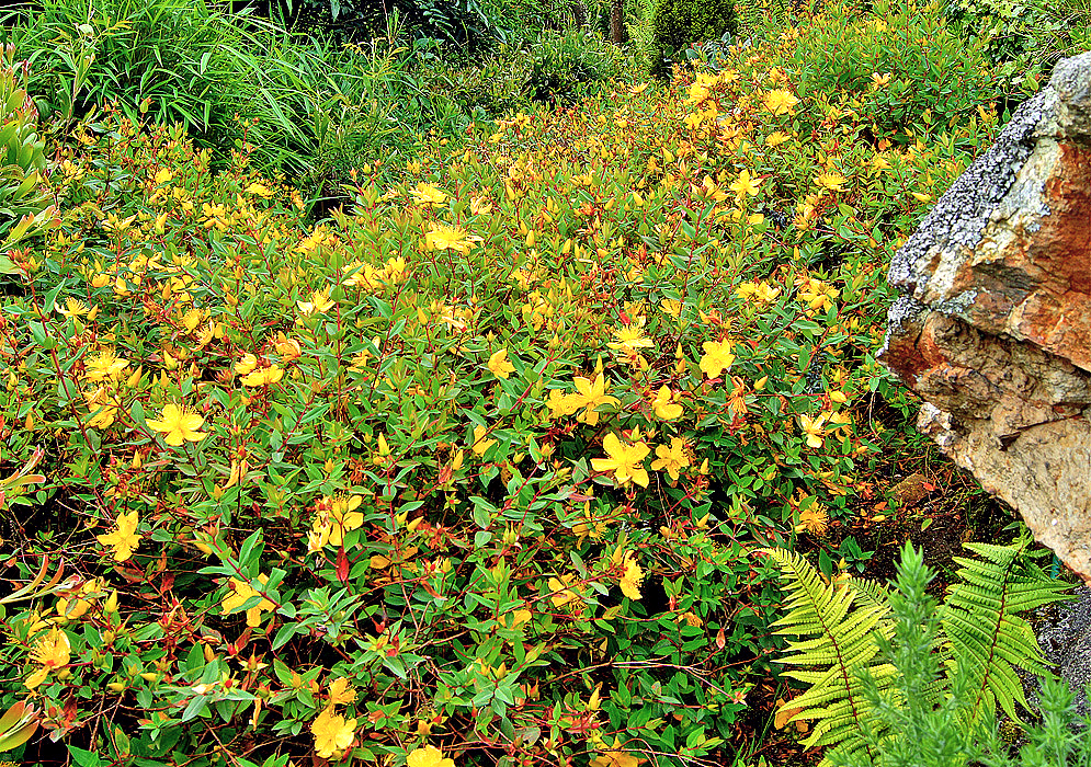 A bed of hypericum perforatummass plants with yellow flowers and red stems