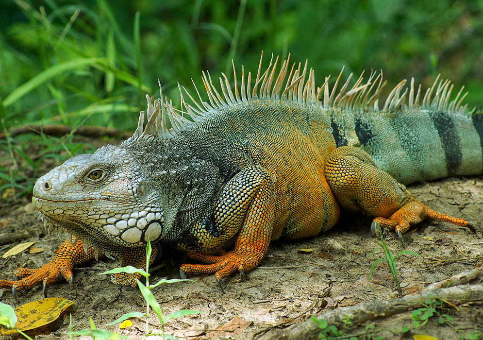Orange with bluish green iguana in a city park