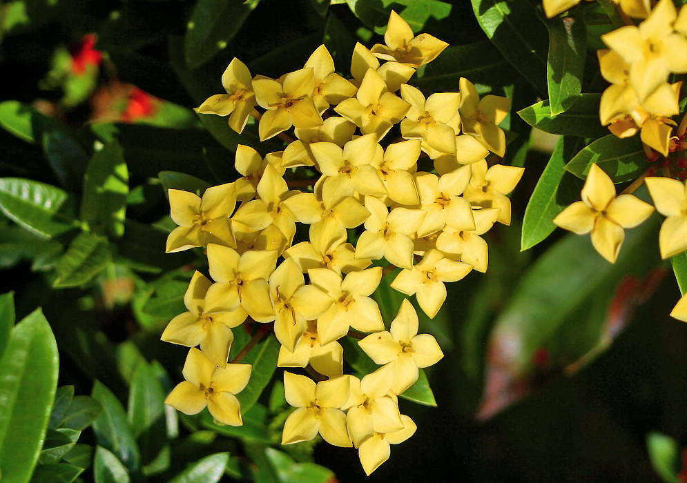 A cluster of yellow Ixora coccinea flowers