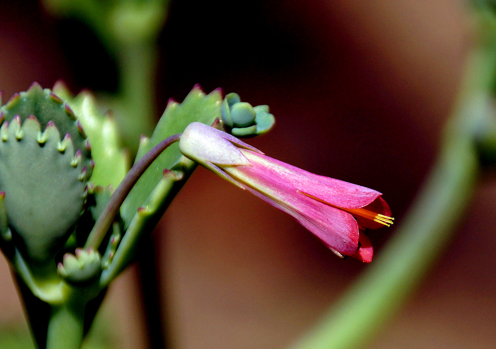 A Kalanchoe falciforme flower with shades of purple, pink and red with yellow stamens
