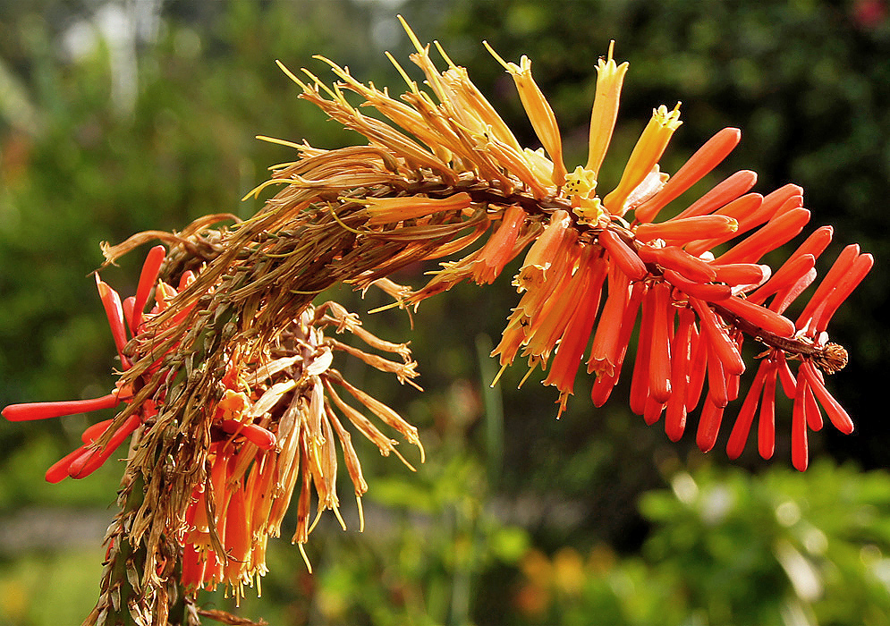 A bending Kniphofia uvaria spike with live and dead flower