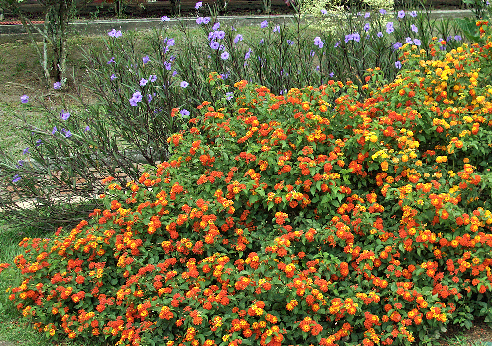 A Lantana camara shrub with orange and yellow flowers with purple Ruellia brittoniana flowers in the background