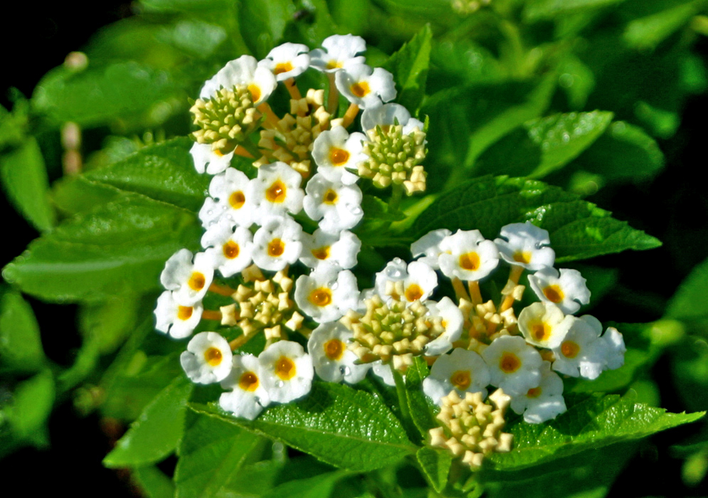 A cluster of wet white Lantana camara flowers with yellow centers in sunlight