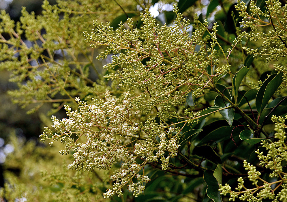 Ligustrum lucidum inflorescence with white flowers and green flower buds