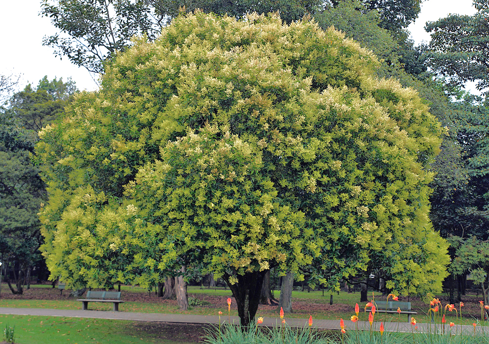 Ligustrum lucidum tree covered in yellow-white flowers and green flower buds