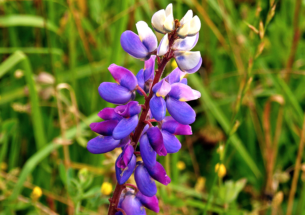 A spike of blue, magenta, white and yellow pea-like Lupinus bogotensis flowers