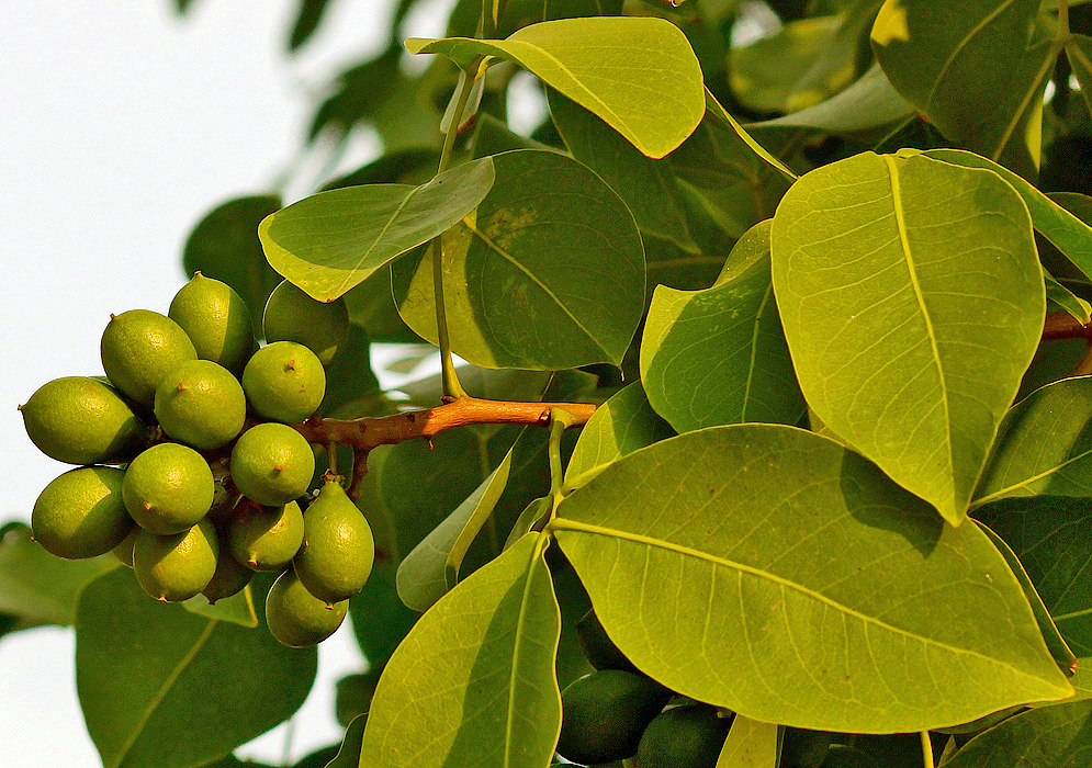 A Melicoccus bijugatus cluster of green fruit on the tree