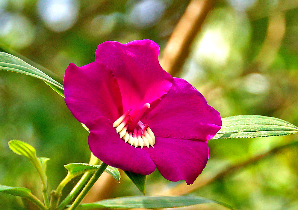 A magenta Meriania speciosa flower with white and magenta stamens in dabbled sunlight