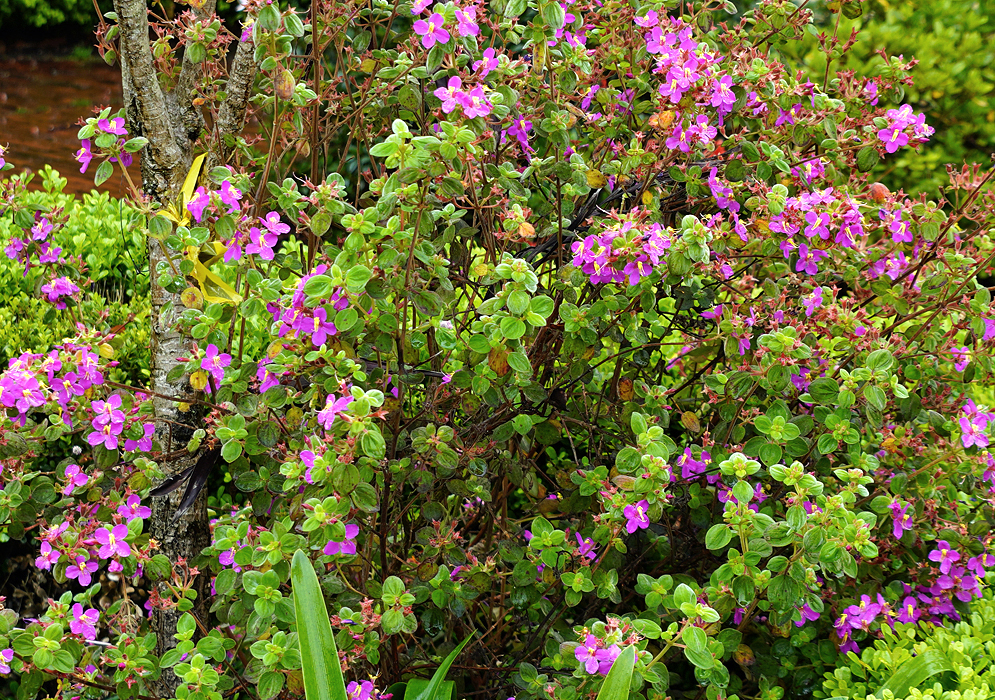 A Monochaetum bonplandii bush with pink flowers