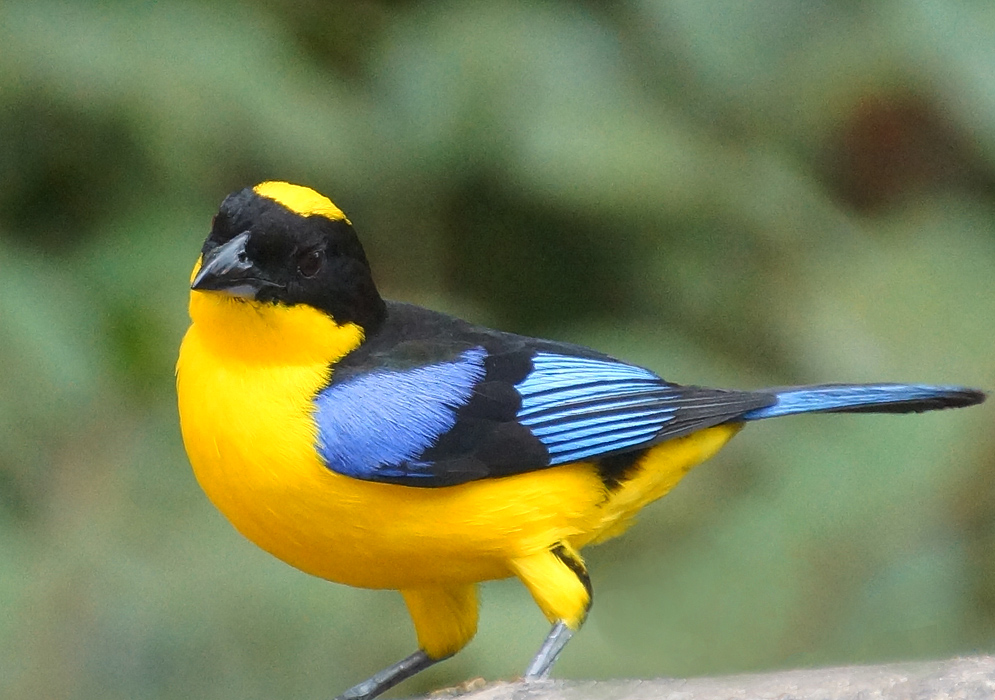 Striking black, yellow and blue Mountain tanager