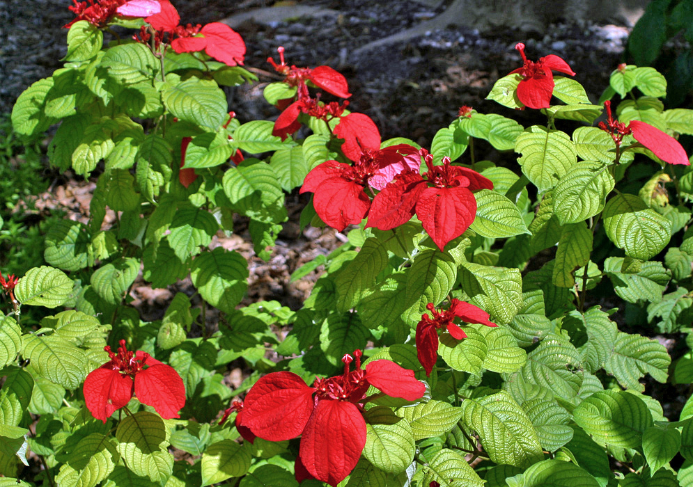 Mussaenda erythrophylla with red bracts and lime-green leaves in sunlight