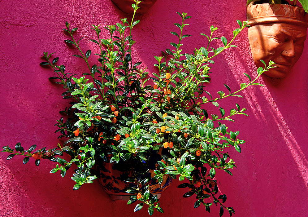 A flowering Nematanthus wettsteinii in a wall-pot in front of a dark pink wall
