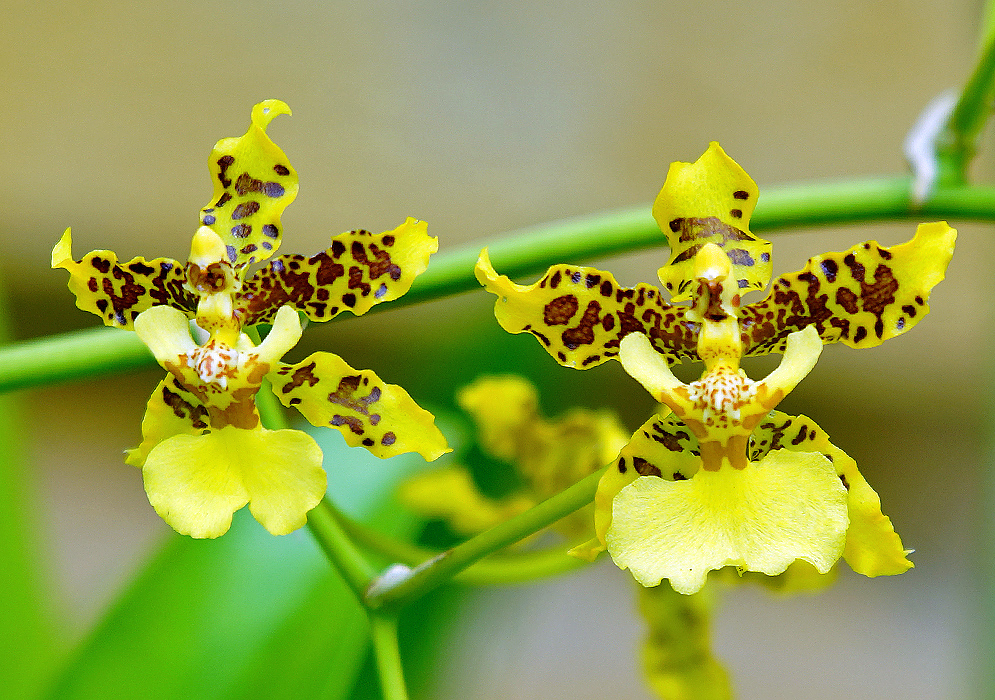 Two yellow Oncidium flowers with brown marking