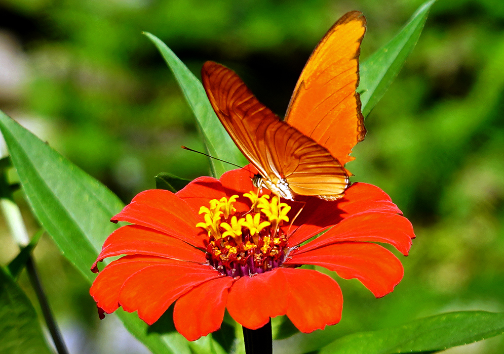 Zinnia elegans orange flower with an orange butterfly on top
