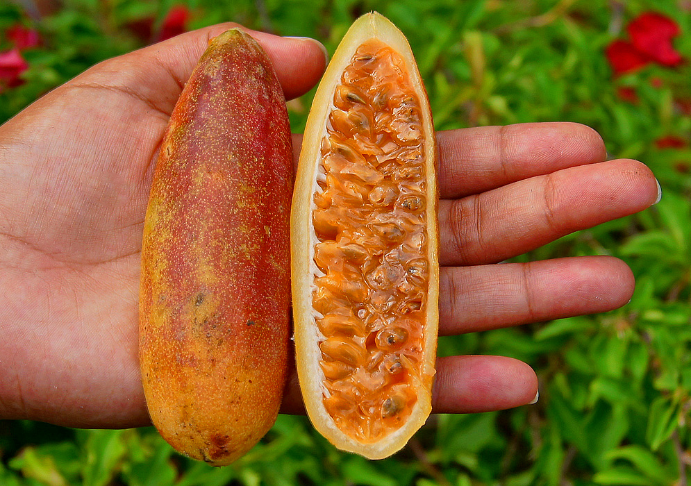 Dark-red and orange Passiflora tarminiana fruit cut in half and held in the palm of a hand exposing the orange pulp
