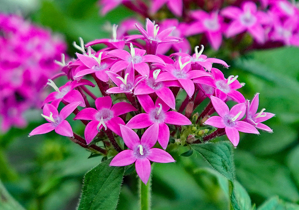 Pentas lanceolata pink flowers withe a purple center and white filaments