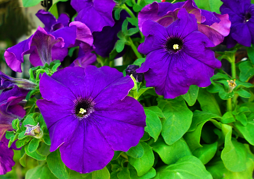 Purple Petunia hybrida flowers with stamens