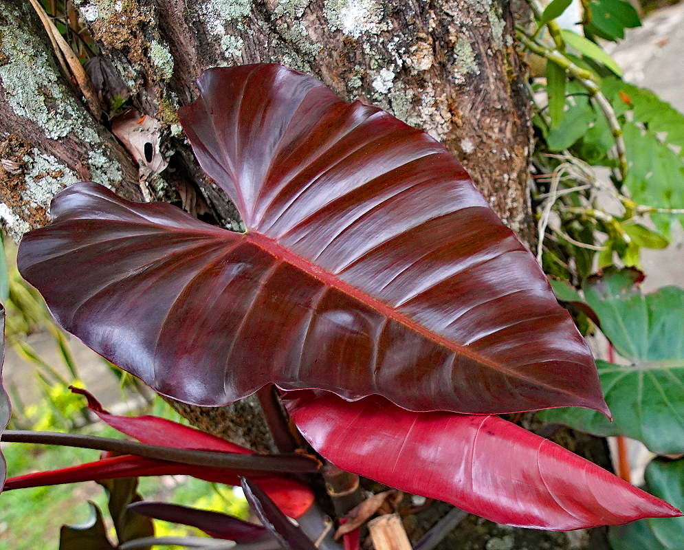 Philodendron hybrid dark lord brown and red leaves