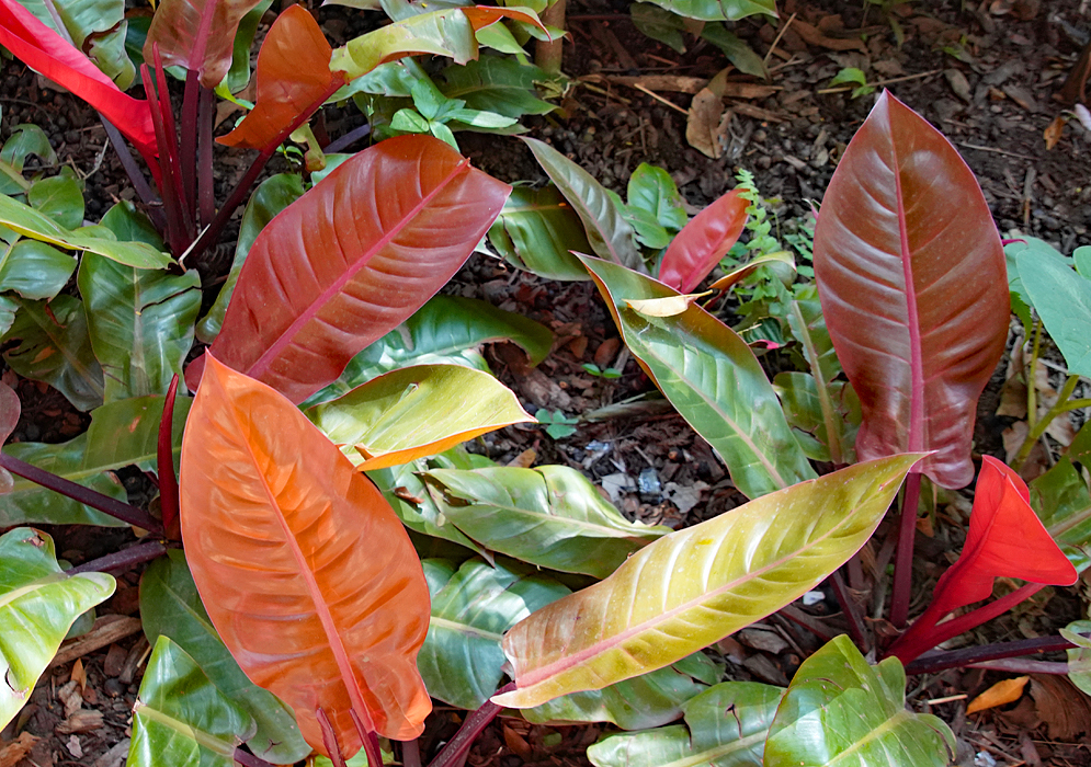 Philodendron Prince of Orange colorful leaves