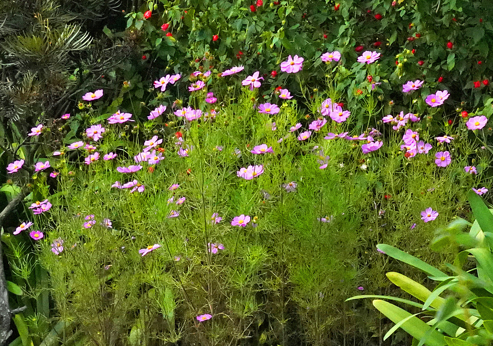 Cosmos bipinnatus with lacy leaves and pink flowers in a garden