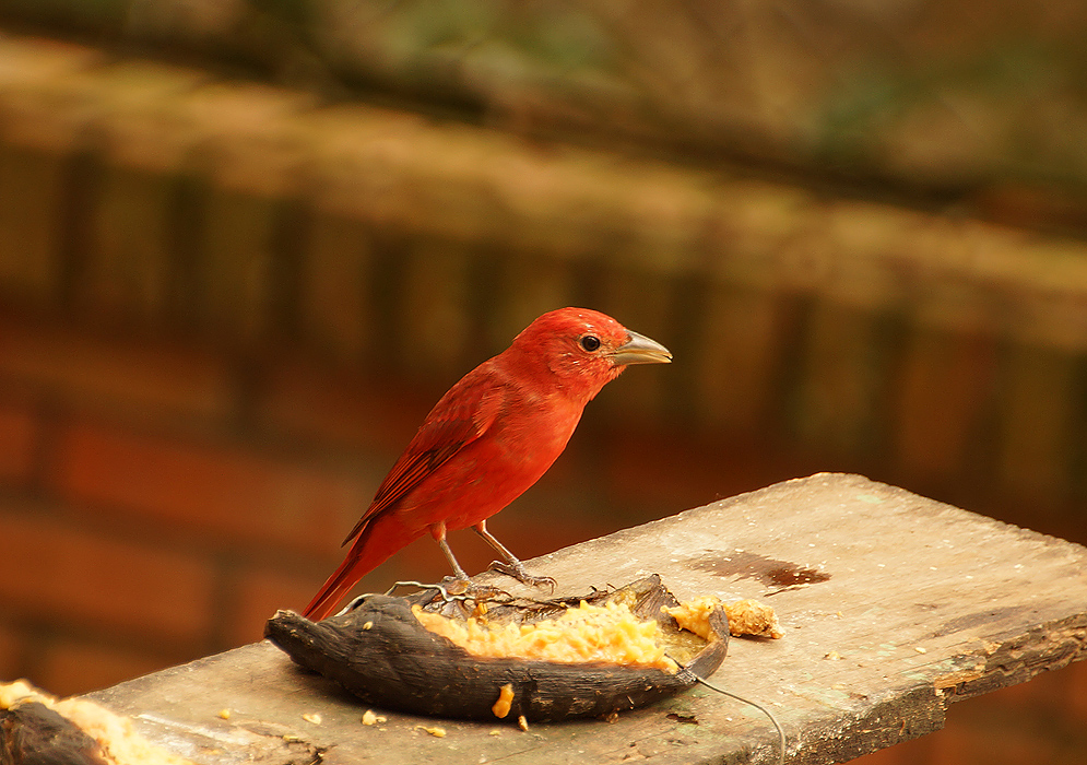 Scarlet and lionel-gold Summer Tanager standing on a wooden table eating plantain
