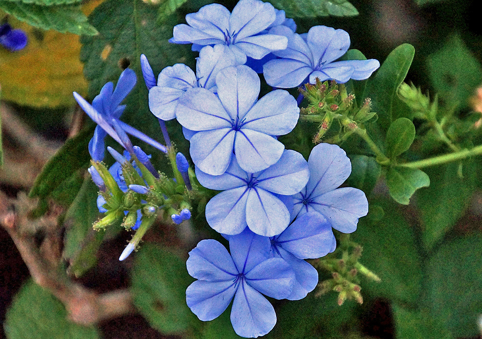 Plumbago auriculata cluster with sky-blue flowers