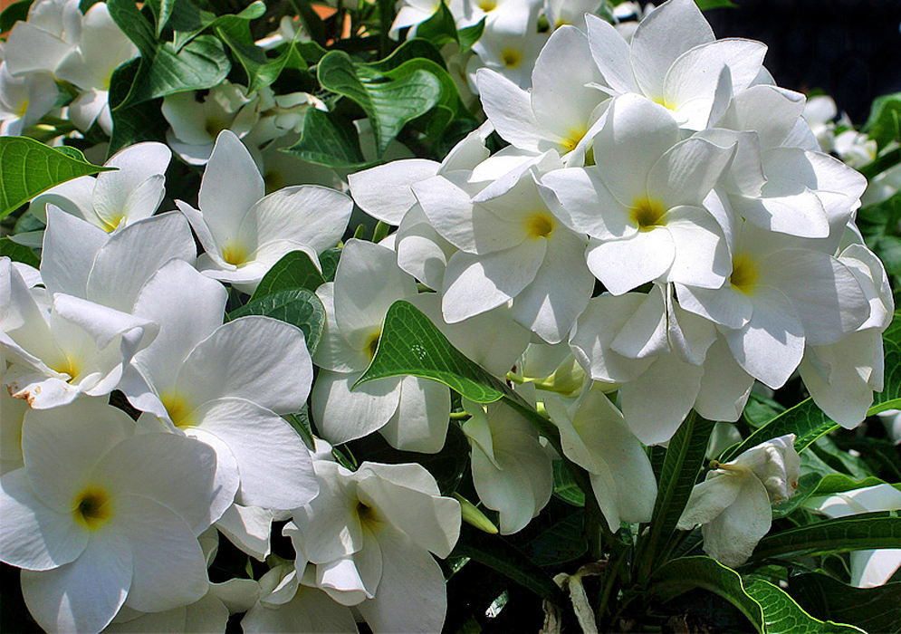 Two Plumeria pudica clusters of white flowers in sunlight