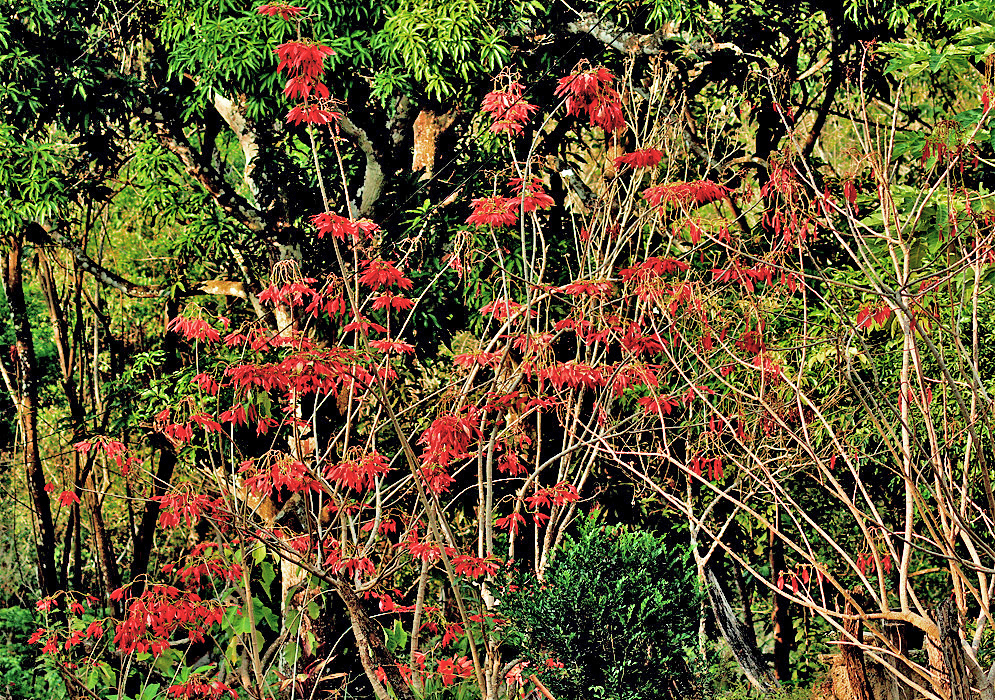A small Poinsettia shrub with red bracts in sunlignt