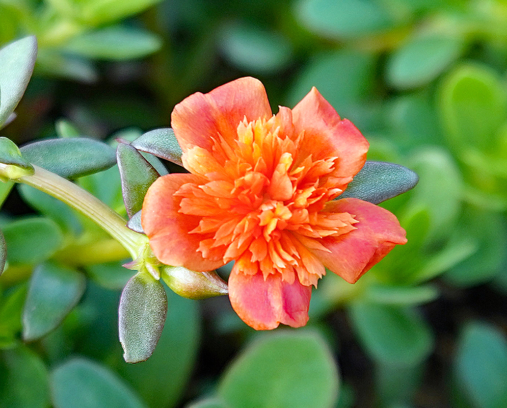 Portulaca umbraticola orange flower