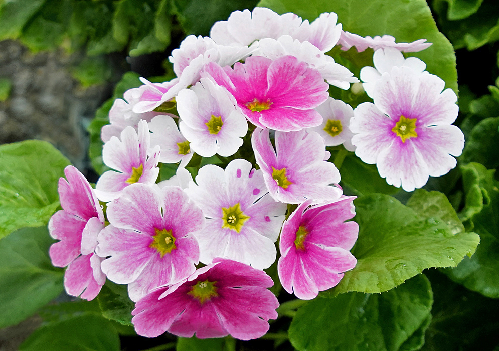 Primula obconica pink and white flowers