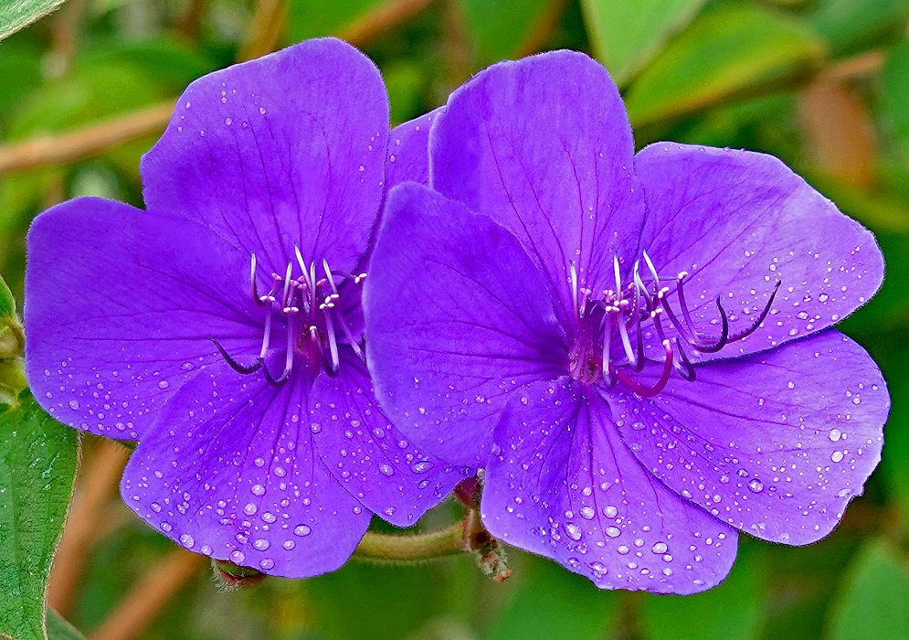 Purple Tibouchina urvilleana flowers covered in raindrops