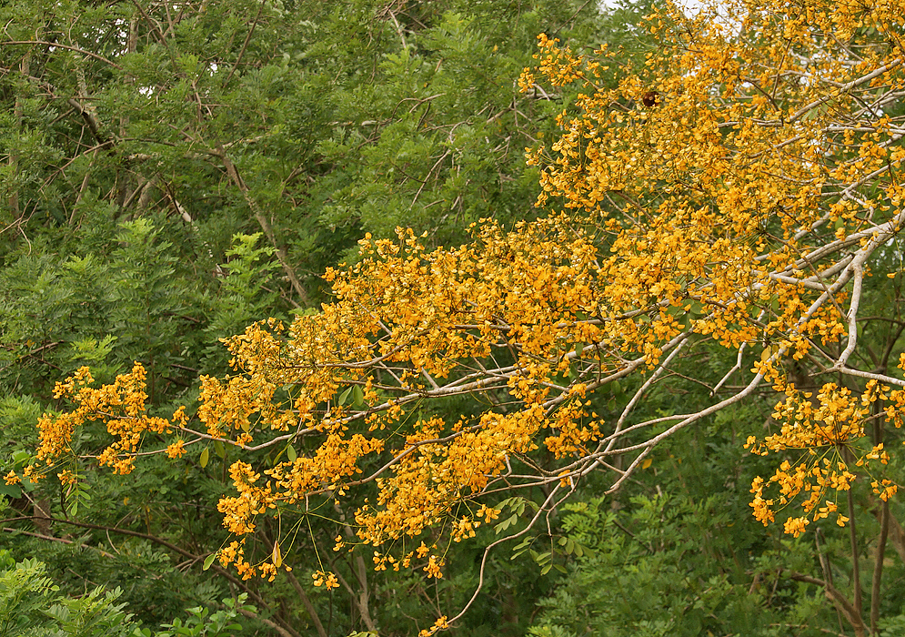Pterocarpus acapulcensis branches with yellow flowers
