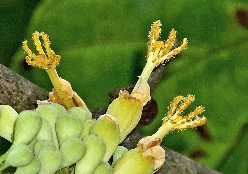 A cluster of green Quararibea cordata flower buds and three yellow flowers