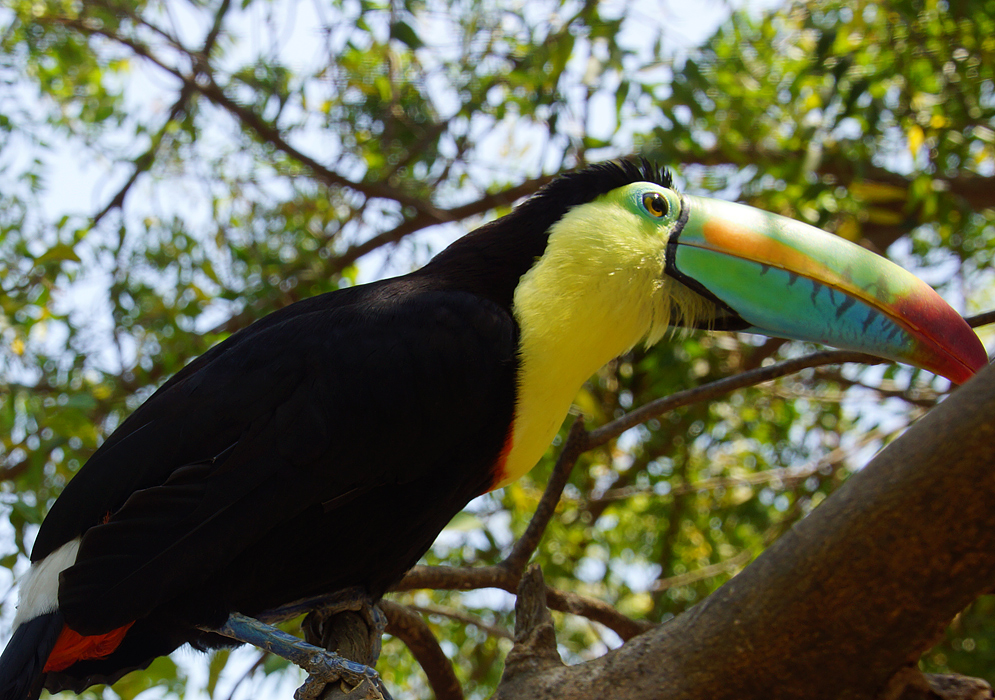 Keel-billed Toucan covered with bright yellow, orange, green and black colors getting sunlight on the head