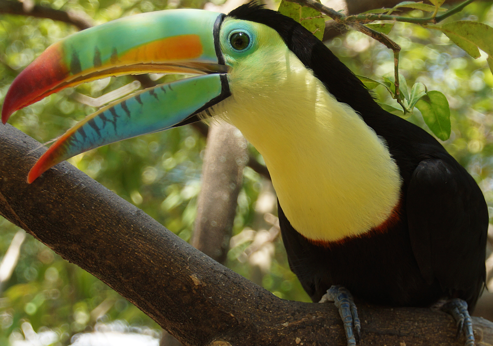 Keel-billed Toucan covered with bright yellow, orange, green and black colors with the beak open