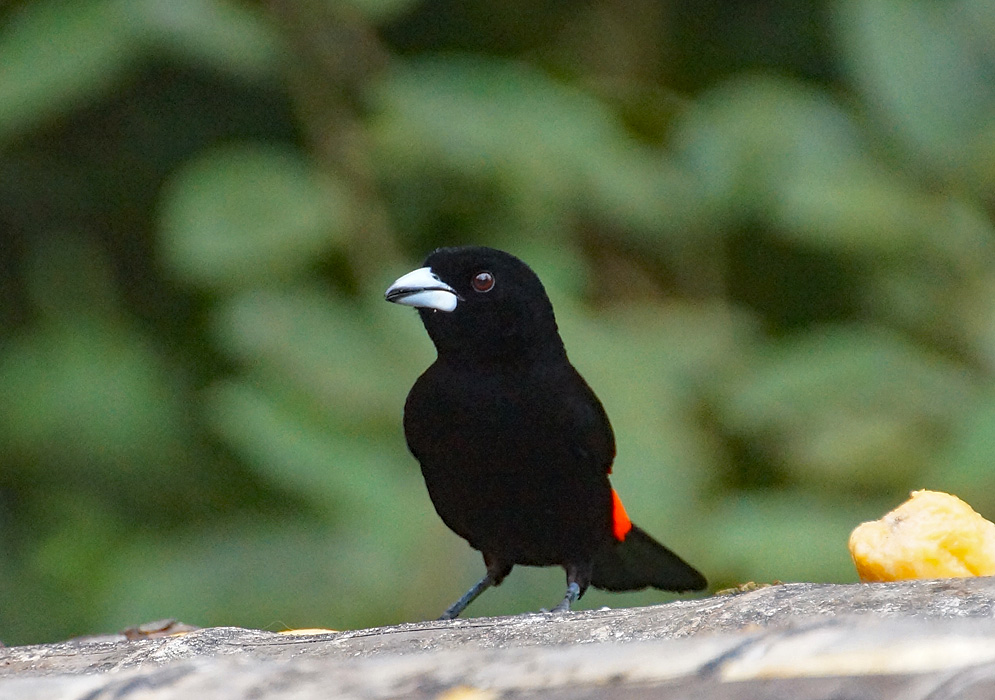 Ramphocelus flammigerus black male bird