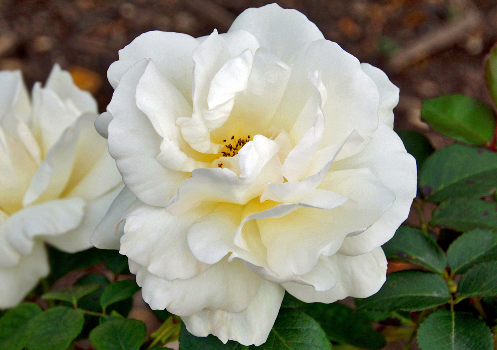 A white rose with hint of yellow in the center with brown anthers