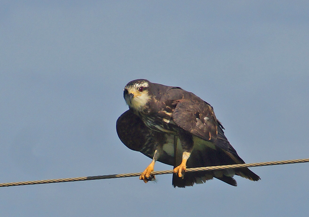 Snail-Kite standing on a wire