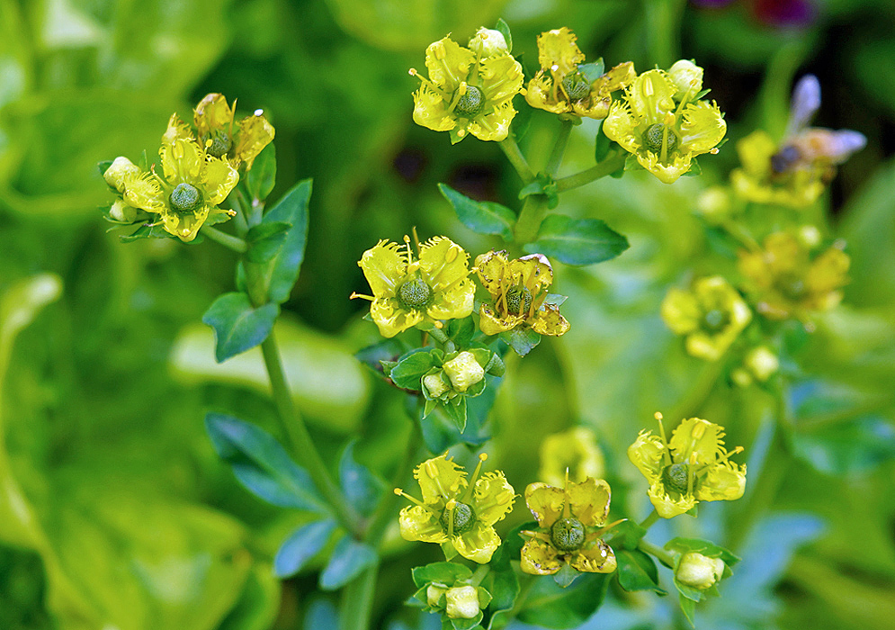 Bright yellow Ruta chalepensis flowers and green fruit