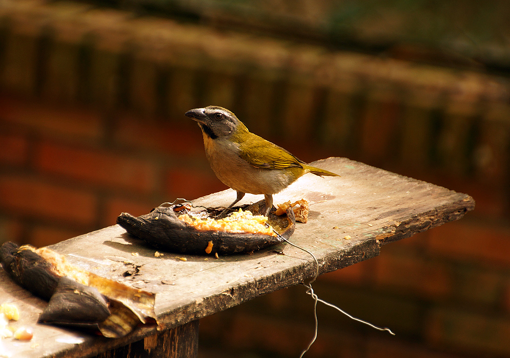 Gray-chested and mustard-colored-back Buff-throated standing on a dried banana shell