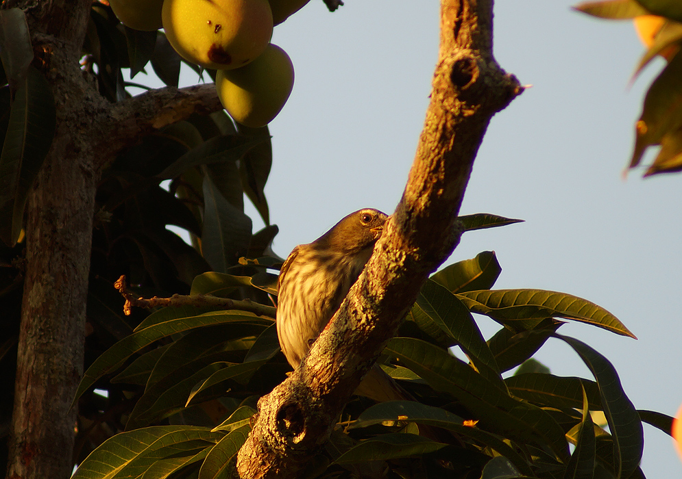 Mustard-colored-back and striped-chested Saltator striatipectus on a Mango tree branch looking away