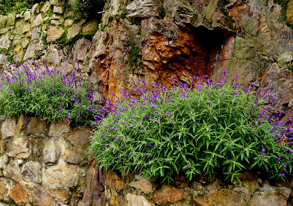 Two Salvia leucantha bushes with purple and white flower spikes on top of a stone wall