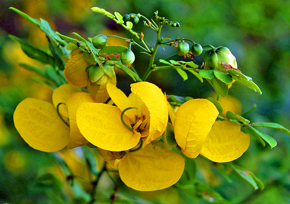 Yellow Senna flower with a curled green style