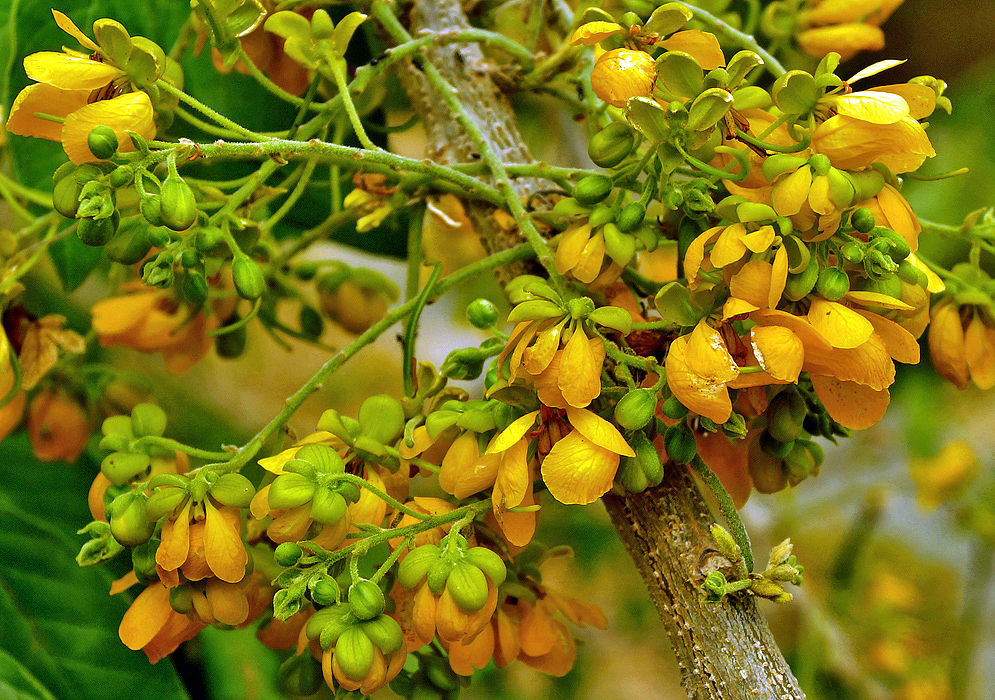 Clusters of small orange-yellow Senna flowers