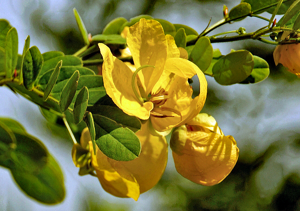 A yellow Senna pallida flower with a green style