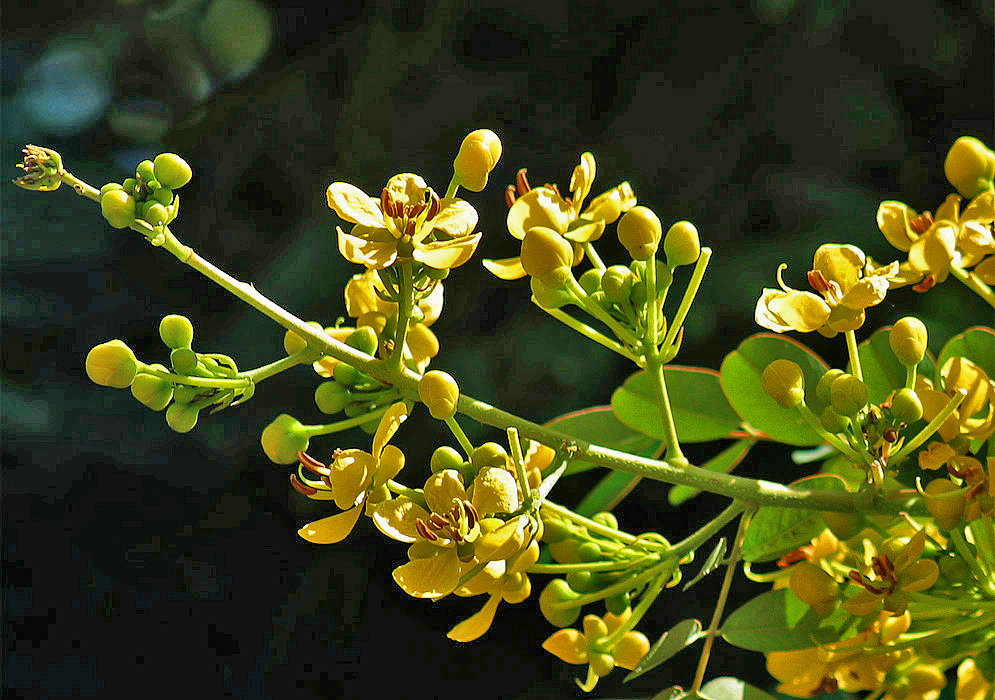 A Senna siamea inflorescence with yellow flowers
